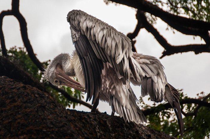 طائر البحيرة الكبير رحلتي الى سريلانكا بالتفصيل