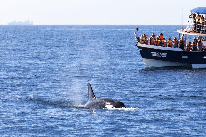 الحوت في سيريلاكا