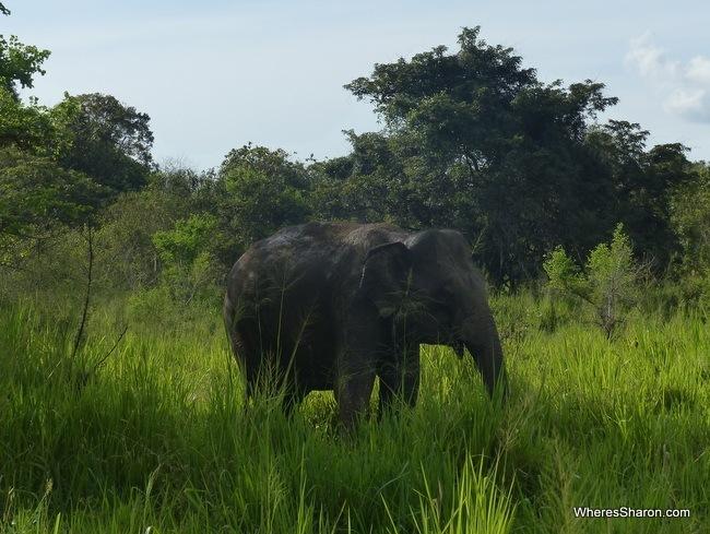 فيل في حدائق سيريلانكا